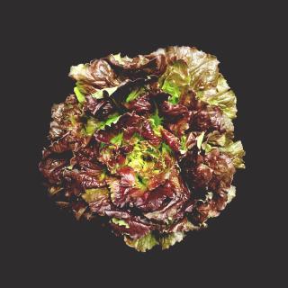 Bataviasalat rot